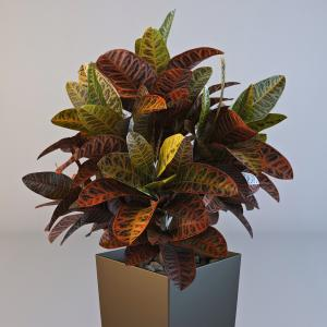 Petra Croton Plant