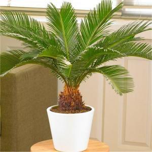 Cycas Palm(Saga)