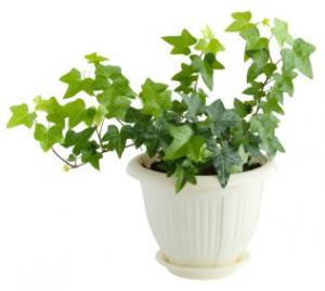 English Ivy Green