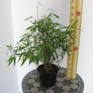 Simba Bamboo