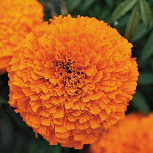 Marie Gold Orange Seeds