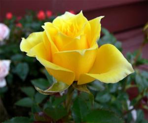 Yellow Rose Seeds