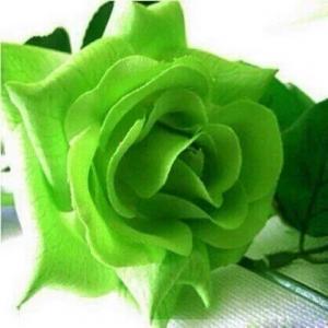 Green Rose Seeds