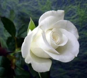 White Rose Seeds