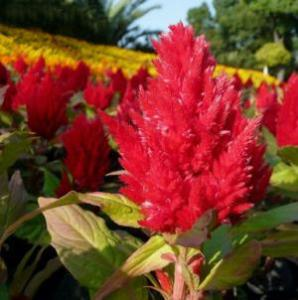 Celosia Plumosa Red Seeds