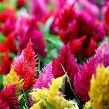 Celosia Plumosa Mixed Seeds