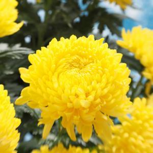 Chrysanthemum Yellow Seeds