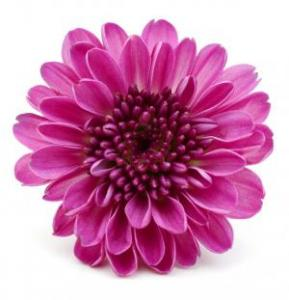 Chrysanthemum Pink Seeds
