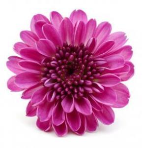 Chrysanthemum Pink Seeds