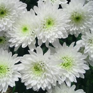 Chrysanthemum White Seeds