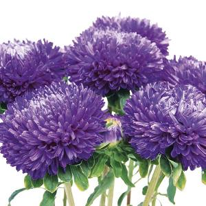 Chrysanthemum Purple Seeds