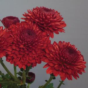 Chrysanthemum Red Seeds
