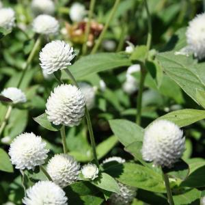 Gomphrena White Seeds