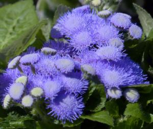 Ageratum Pearl Blue Seeds