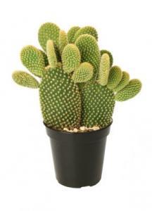 Opuntia Microdasys (Bunny Ear Cactus)