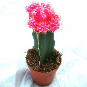 Moon Cactus Pink