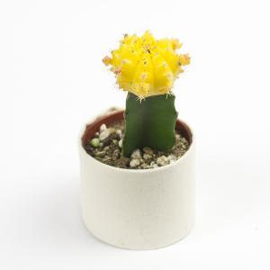 Moon Cactus Yellow