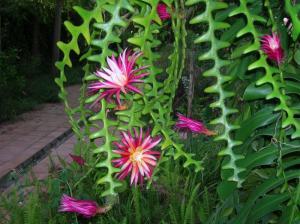Fish Bone Cactus