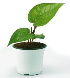 Betel Leaf Plant (Paan)