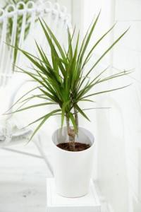 Dracaena Colorama Green