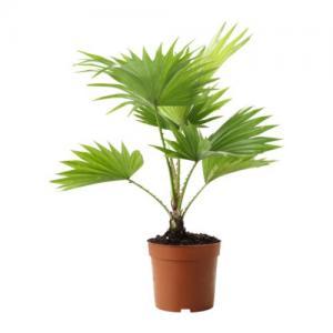 China Fan Palm