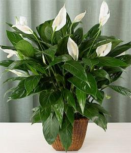Peace Lily (Spathiphyllum Miniature)