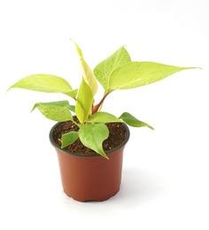 Philodendron Cyclone Golden