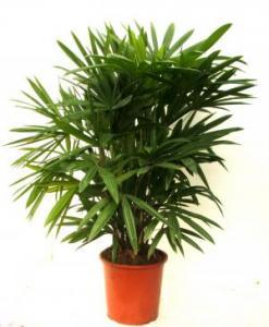 Rhapis Excelsa Palm