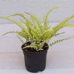 Fern Emina Plant