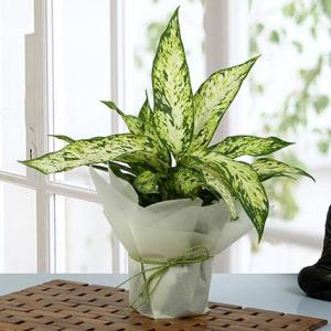 Aglaonema Green Plant