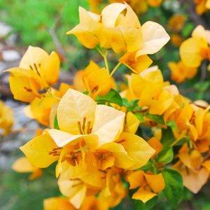 Bougainvillea Yellow