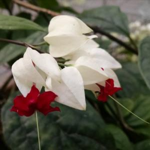 Bleeding Heart Vine White Plant