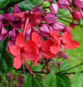 Bleeding Heart Vine Red