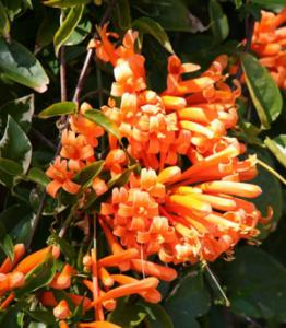 Flaming Trumpet Plant