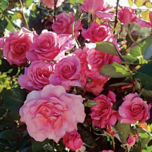 Climbing Rose Pink Plant