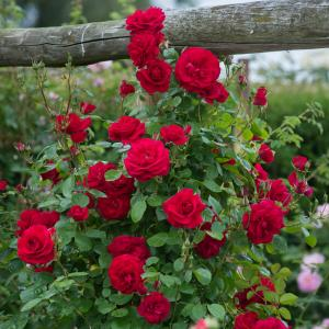 Climbing Rose Red Plant