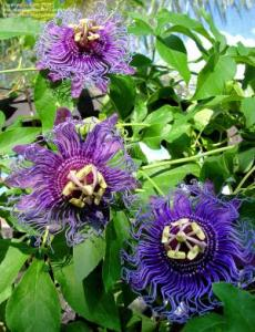 Passiflora Purple Plant