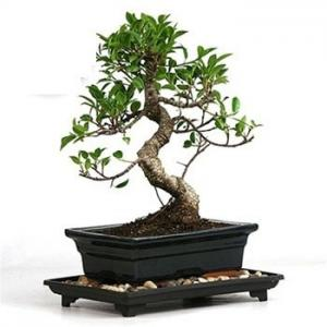 Ficus S Shape 5 Years