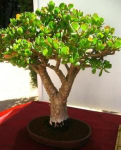 Crassula Ovata Bonsai 5 Years