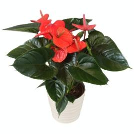 Anthurium Andreanum Red Gift Plant