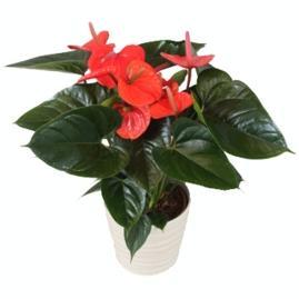 Anthurium Andreanum Red Gift Plant