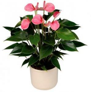 Anthurium Andreanum pink gift plant