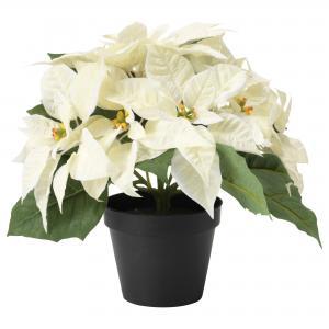 Poinsettia White Gift Plant