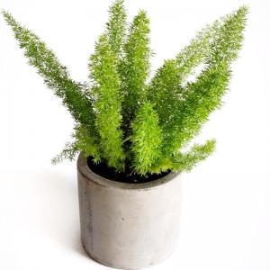 Fog Tail Asparagus Mayerri Plant