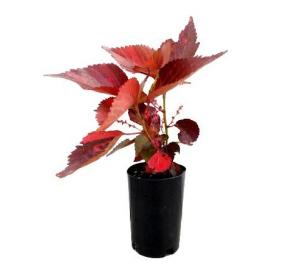 Acalypha Red