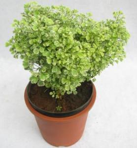 Aralia White Plant