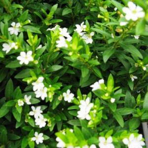 Cuphea White Plant