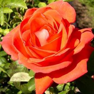 Orange Rose Plant