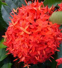Ixora Red
