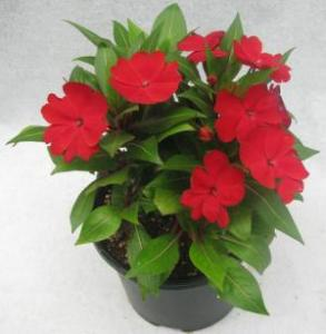 Balsam Red Flowering Plant